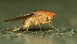 Can fruit fly research help improve survival of cancer patients?