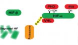751-hypoxia-inducible-tumour-specific-promoters-as-a-dual-targeting-transcriptional-regulation-system-for-cancer-gene-therapy