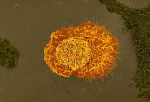 New molecular mechanism that regulates the sentinel cells of the immune system