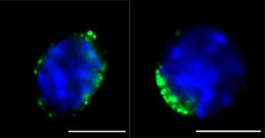 Aged bone marrow niche impedes function of rejuvenated haematopoietic stem cells