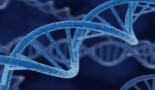 Una proteína que acelera el envejecimiento frena el cáncer